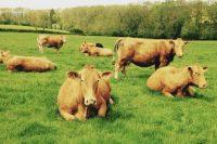 South Devon Cattle