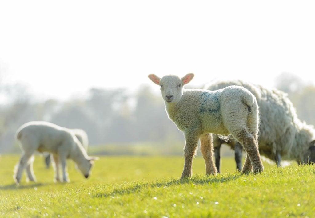 lambs in church field