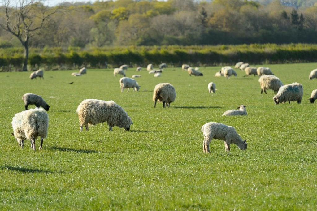 sheep in little dalby